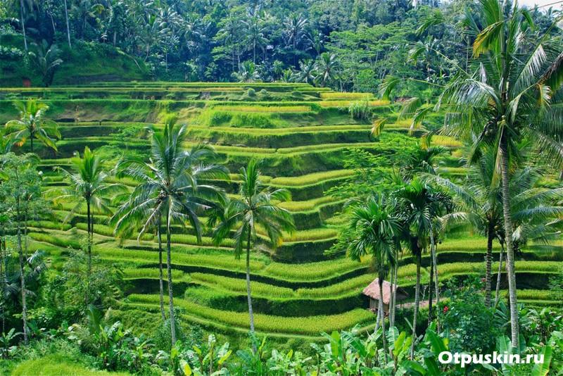 Индонезия рисовые поля Убуд на острове Бали